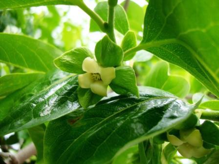 Blüten des Kakibaums gegen Ende Mai