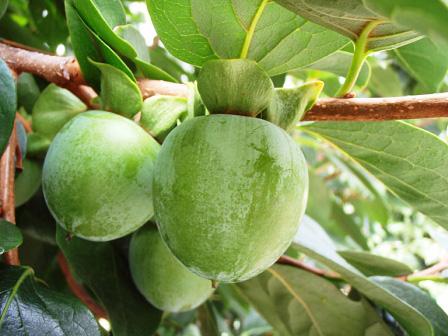 8月の中旬頃の柿