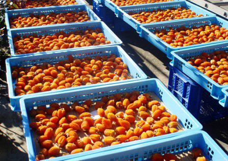 Sundried persimmons