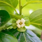 柿の花(5月〜6月)