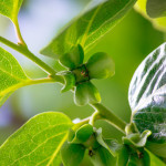 柿の実(6月)