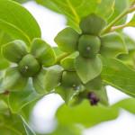 柿の実(6月下旬)