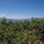 柿畑の景色(7月下旬)