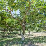 柿の木(7月下旬)
