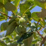 柿の実(7月下旬)