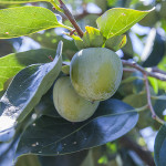 柿の実(9月下旬)