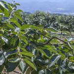 柿の枝と実(9月下旬)