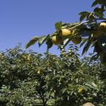 柿畑(10月上旬)