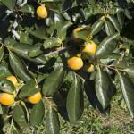 次第に色付く柿の実(10月上旬)