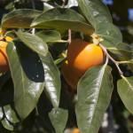 色付いた柿の実(10月下旬)