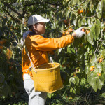 柿の収獲(11月上旬)