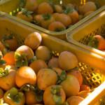 収獲した柿(11月上旬)