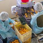 柿むき機での作業(11月上旬)