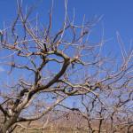 冬の柿畑(1月)