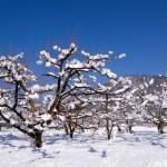 積雪の中の柿畑(1月)