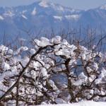 雪の中の柿畑と雪山遠景(1月)