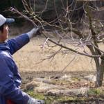 柿の木の剪定の様子(2月)
